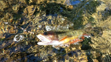 Small brook trout